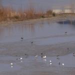 Hochwasserrückhaltebecken Mengede/Ickern - Kiebitze