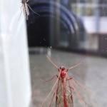 Büschelmücke (Chaoboridae) und Schlupfwespe (Ophion luteus)