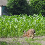 HRB Mengede 06-2016 Hase