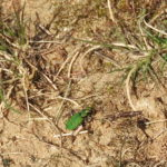 Feld-Sandlaufkäfer