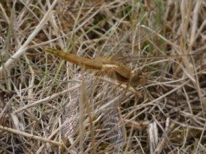 Feuerlibelle - Frisch geschlüpftes Männchen